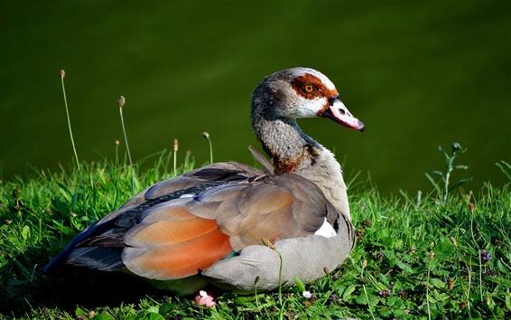 Wallpaper Wild duck, grass, lake