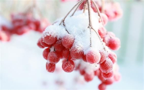 배경 화면 겨울, 눈, 붉은 열매, 나뭇 가지