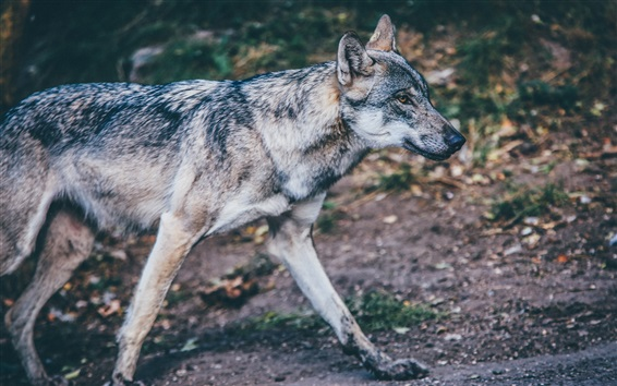 Wallpaper Wolf walk, predator close-up