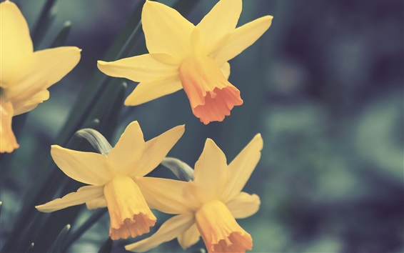 Wallpaper Yellow daffodils flowers close-up, blurry background