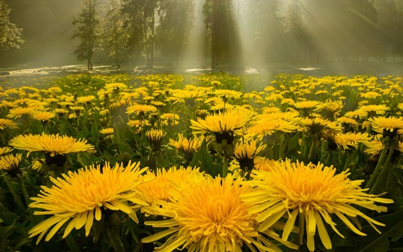 Wallpaper Yellow dandelions flowers, forest, glare