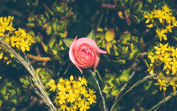 Fond d'écran Fleurs jaunes, une rose rose