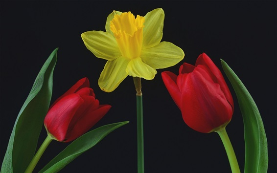 Wallpaper Yellow narcissus and red tulips, black background