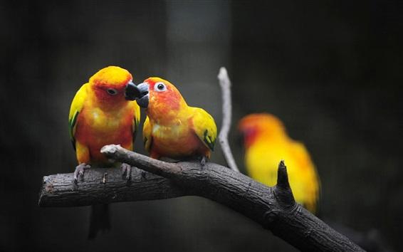 Papéis de Parede Papagaios amarelos, alimentação