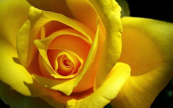 Обои Желтый цветок розы крупным планом, лепестки, тень