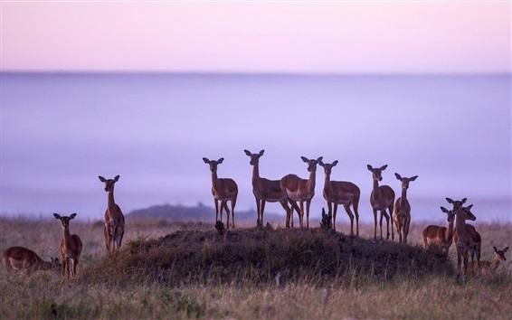 Wallpaper Africa, antelope, Kenya, Masai Mara National Reserve