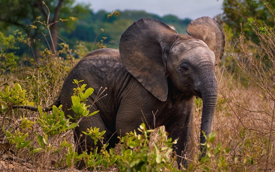 Wallpaper African, elephant cub, wildlife