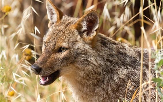 Fond d'écran Loup africain, prédateur, herbe