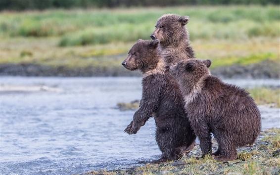 Обои Аляска, Национальный парк Катмай, озеро, три мокрых медвежата