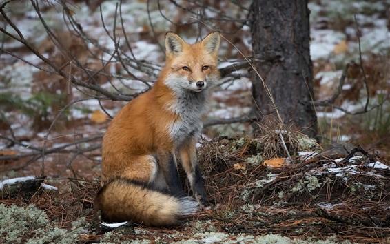 Papéis de Parede Outono, raposa, árvores