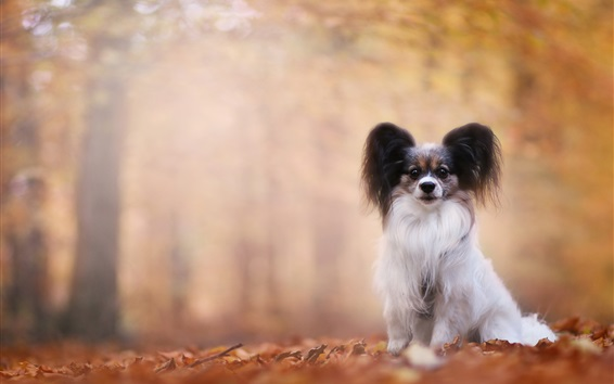 Wallpaper Autumn, furry dog, bokeh