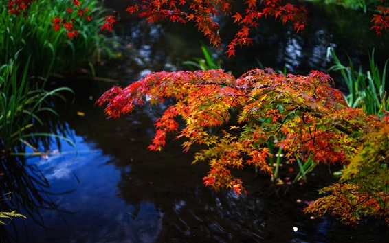 Wallpaper Autumn, maple leaves, red and yellow, twigs, pond