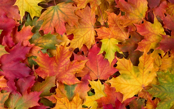 Wallpaper Autumn, maple leaves, red yellow and green