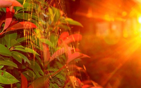 Wallpaper Autumn, web, sunlight, glare