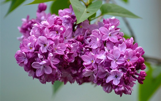 Wallpaper Beautiful lilac flowers, inflorescence