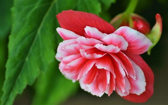 Fondos de pantalla Begonia, pétalos blancos rojos