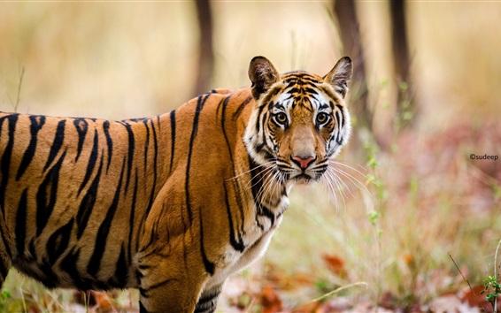 Papéis de Parede Bengala tigre, predador, tiras, olhar