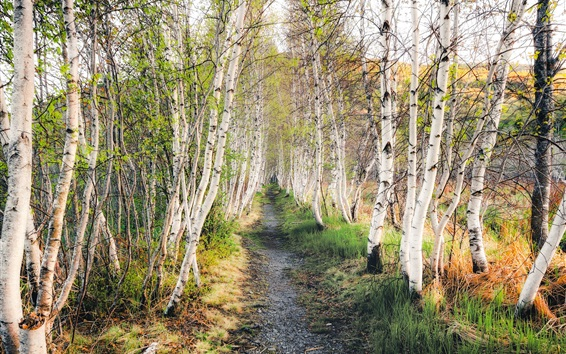 Wallpaper Birch forest, grass, path, nature