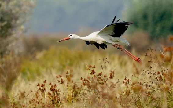 Wallpaper Bird of stork flight