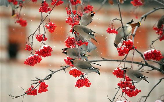 壁紙 鳥は赤い果実、小枝、雪を食べる