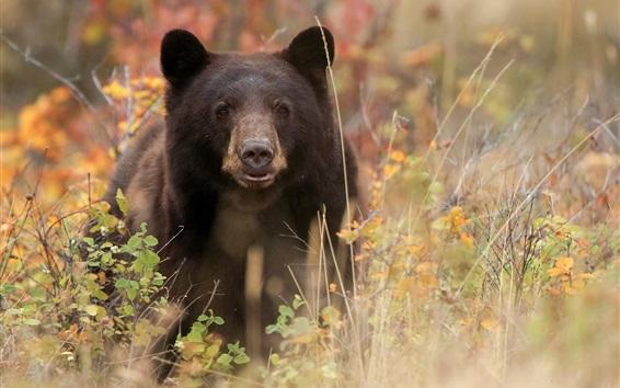 壁紙 ブラッククマ正面図、草