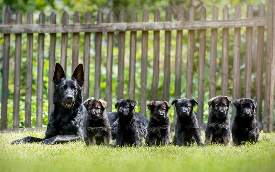 Wallpaper Black dogs, German shepherd, puppies, grass