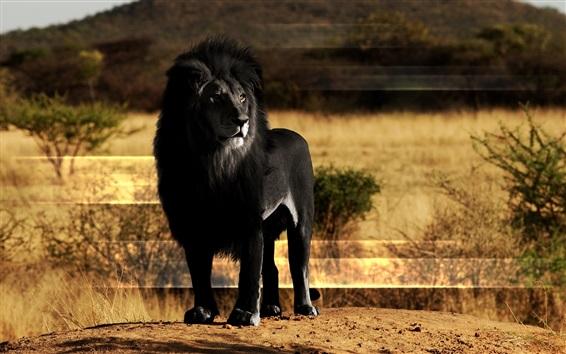 Papéis de Parede Leão preto