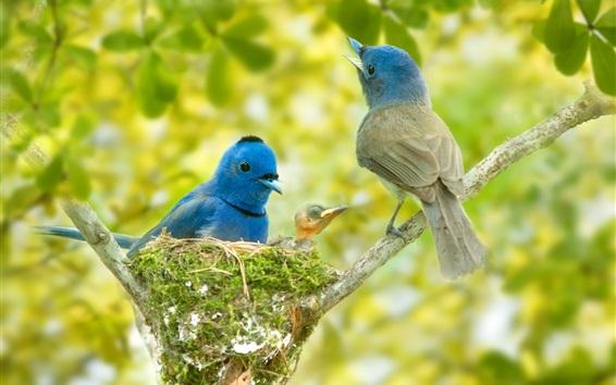Papéis de Parede Família de pássaros de pena azul