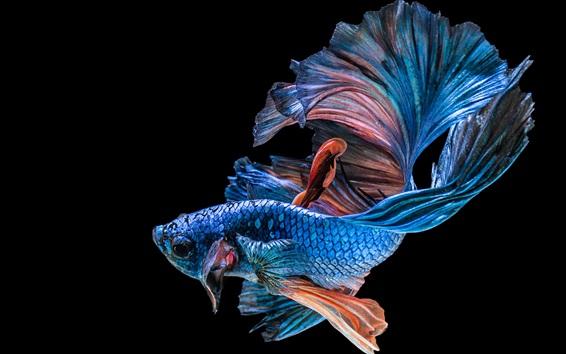 Fond d'écran Poisson bleu, fond noir
