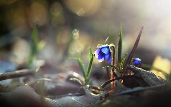 Обои Голубой цветок, природа, роса, утро