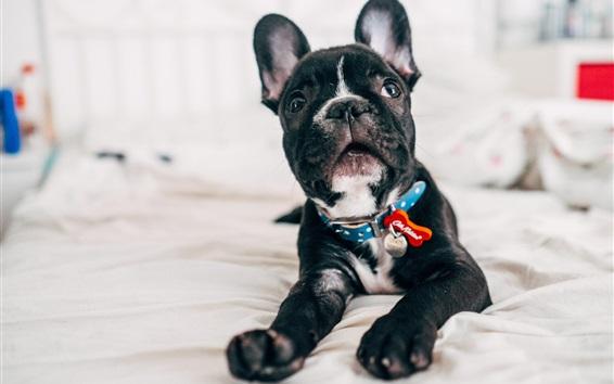 Wallpaper Bulldog, black puppy look at you