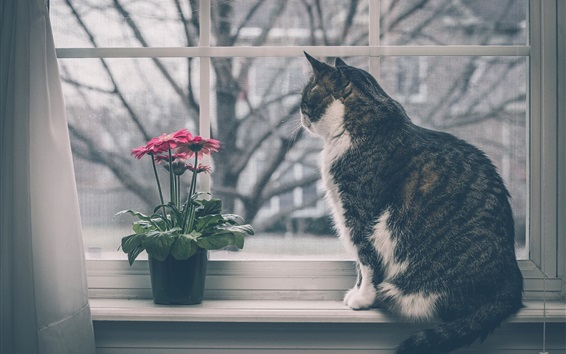 Wallpaper Cat sit at windowsill, window, gerbera flowers