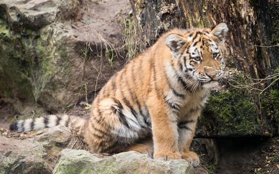 Обои Симпатичный амурский тигр
