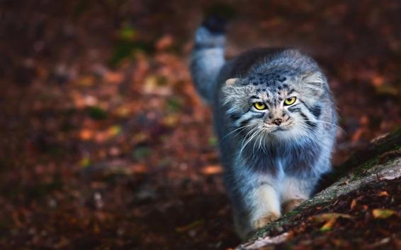 壁紙 かわいい猫があなたを見て、黄色い目