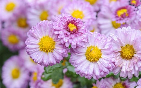 Wallpaper Daisy, pink flowers, water drops