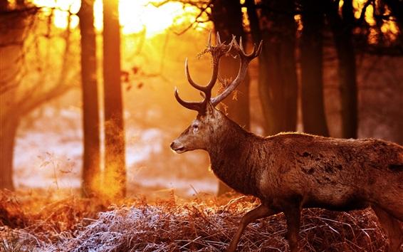 Fond d'écran Cerf, forêt, arbres, rayons du soleil, éblouissement
