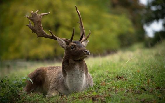 Wallpaper Deer rest in the grass