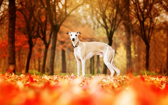Wallpaper Dog in autumn, red leaves ground