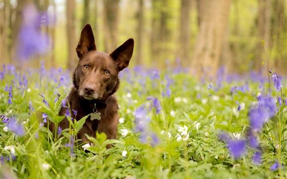 Fond d'écran Look de chien, fleurs bleues