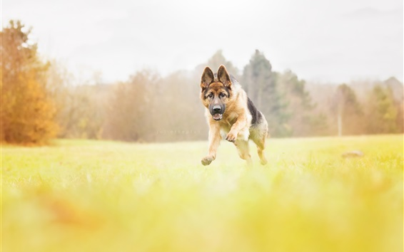 Wallpaper Dog running, blurry background
