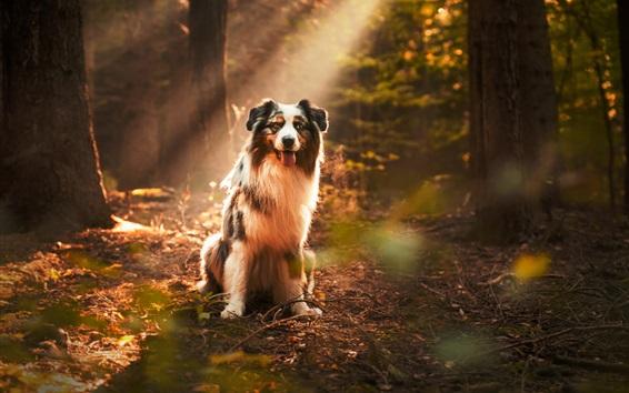 Wallpaper Dog under sunshine, forest, sun rays
