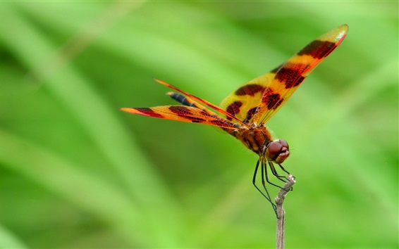 Wallpaper Dragonfly, green background
