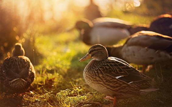 Fondos de pantalla Patos, naturaleza, retroiluminación