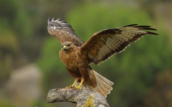 Wallpaper Eagle, wings