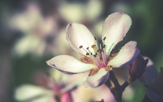 Wallpaper Flowers bloom, spring, white petals