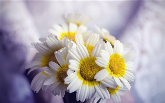 Wallpaper Flowers close-up, white yellow petals chamomile