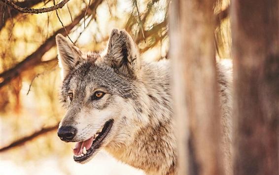 Wallpaper Forest animals, wolf, head, mouth, predator