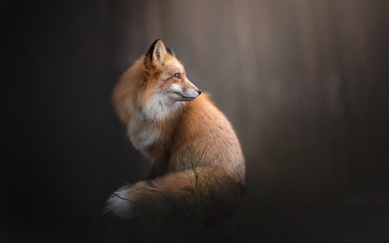 Wallpaper Fox look back, gray background