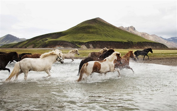 Wallpaper Freedom horses running in water