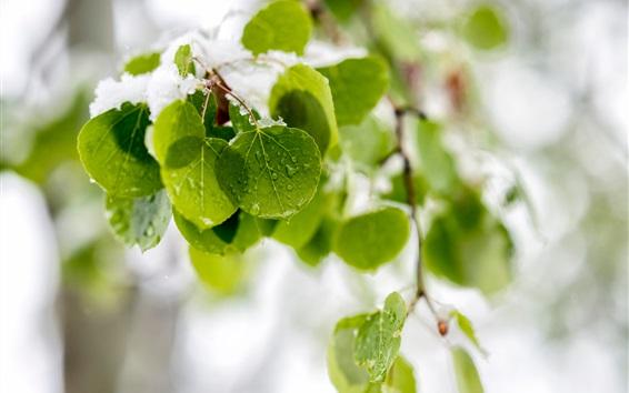 Обои Свежие зеленые листья, снег, капли воды